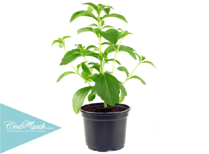 plantar-stevia