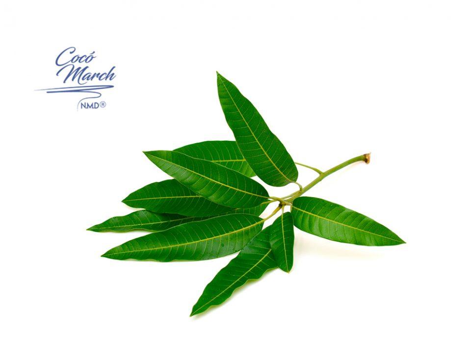 beneficios-de-las-hojas-de-mango