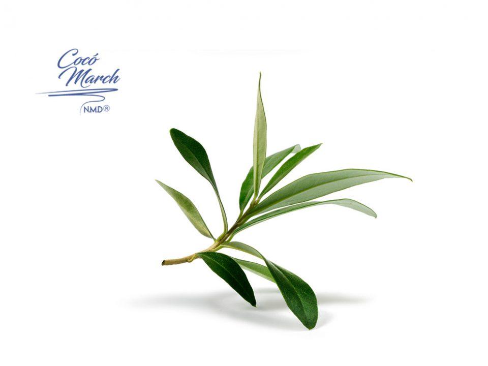 beneficios-del-extracto-de-hojas-de-olivo
